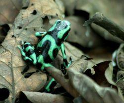 Dendrobates auratus - Corcovado National Park