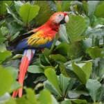 Scarlet Macaw-Lapa Colorada