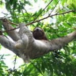 Three-toed Sloth-Peresozo de tres dedos