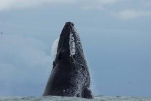 Humpback Whale Jump 2