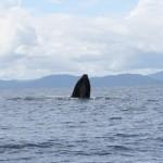 Humpback Whale - Marino Ballena National Park