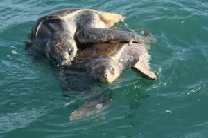 Turtles -Tortugas Cano Island Tour